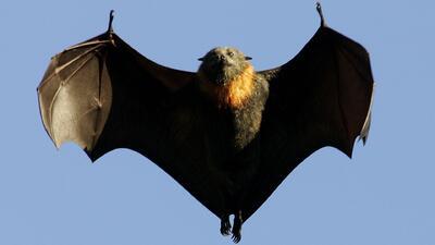 Reportan un incremento de murciélagos con rabia en Chicago y sus alrededores