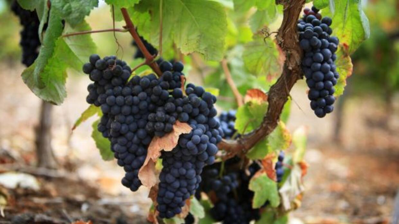 De los viñedos de Tenerife a tu boca, toda una experiencia para los sent...