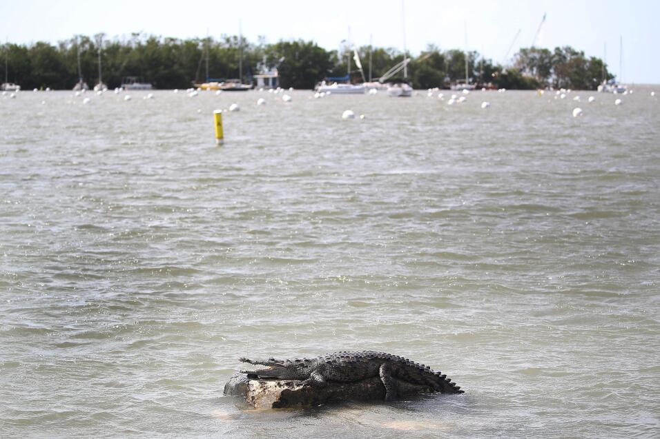 A crocodile is seen at the Dinner Key marina after hurricane Irma passe...