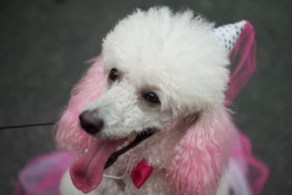 Este lindo Poddle lleva un tinte rosado en su pelaje que combina a la pe...