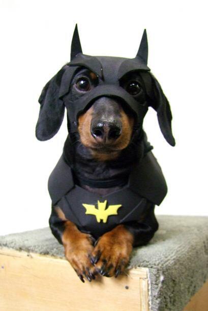 Este cachorro con estilo también ha vestido como Batman, como Bombero y...