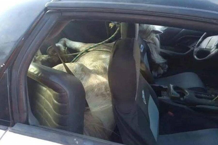 Conductor lleva a su caballo al doctor en un Chevrolet Camaro