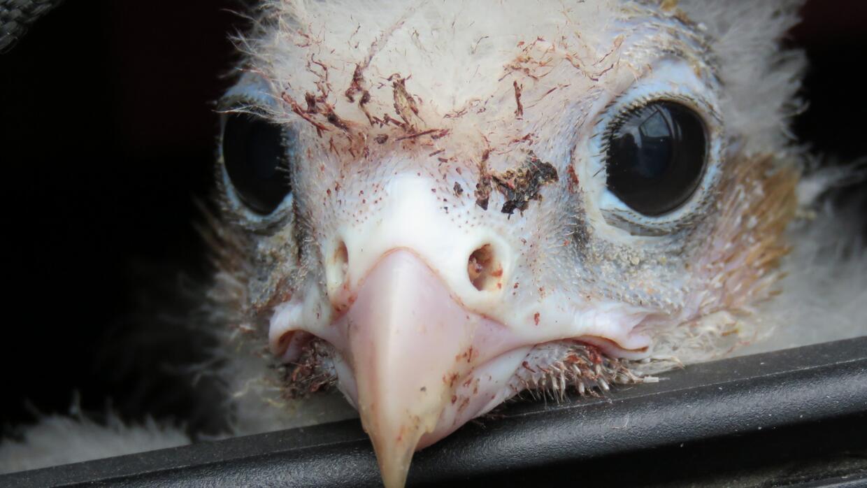 El increíble rescate de un polluelo de halcón desde Brasil hasta la Pata...