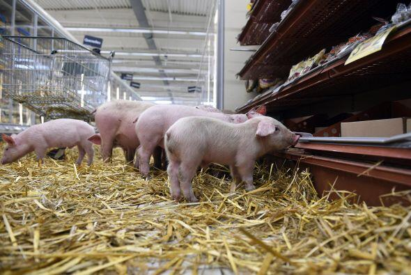 Aunque cueste trabajo creerlo, ¡los cerdos en realidad son unas cr...