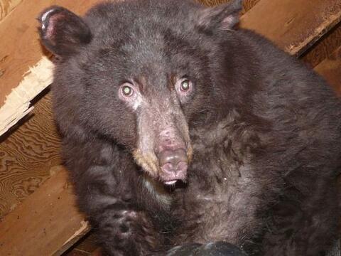 El caso de este pequeño oso conmueve hasta el más duro de...