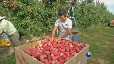 Cosechas de manzana en riesgo por falta de inmigrantes