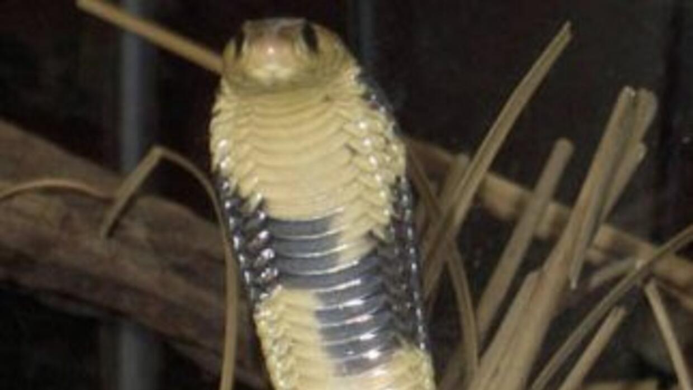 La víbora cobra es una de las más peligrosas.