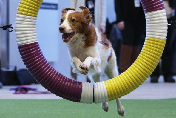 Sólo los perros más veloces, astutos y bellos pueden estar en esta compe...