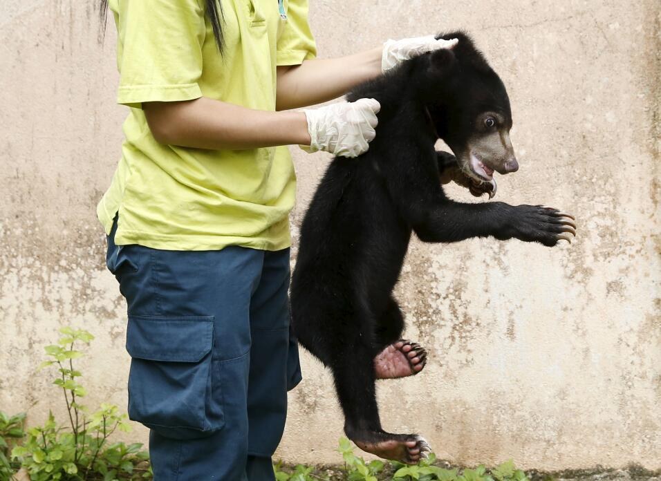 A wildlife department official holds a Malayan sun bear for the media at...