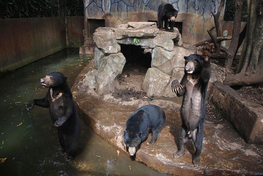 osos asiáticos
