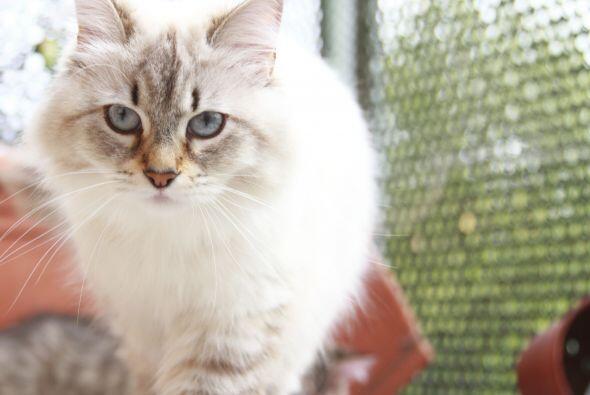 ¿Quieres tener un gato pero tienes alergia? Los siberian son la elección...