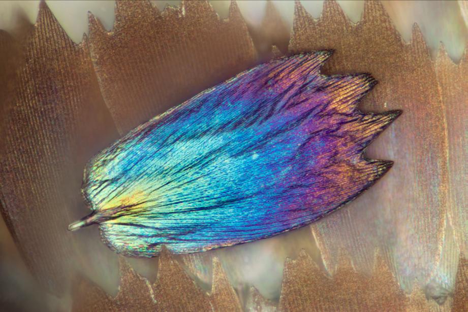 Las alas de mariposas como nunca antes las viste Una escama desprendida...
