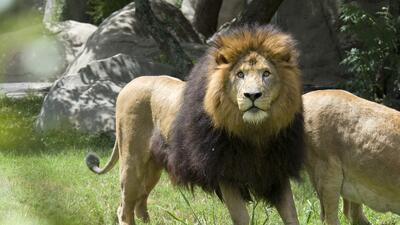 El león Jonathan del zoológico de Houston murió de complicaciones médicas a la edad de 18 años. Fotos: Stephanie Adams/Houston Zoo