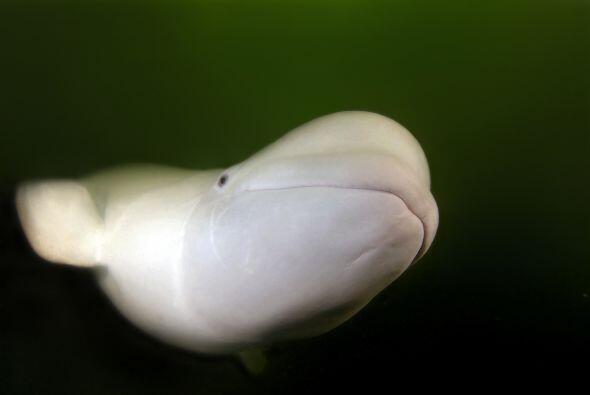 Adorables belugas fueron captadas por un fotógrafo en el mar de Japón qu...