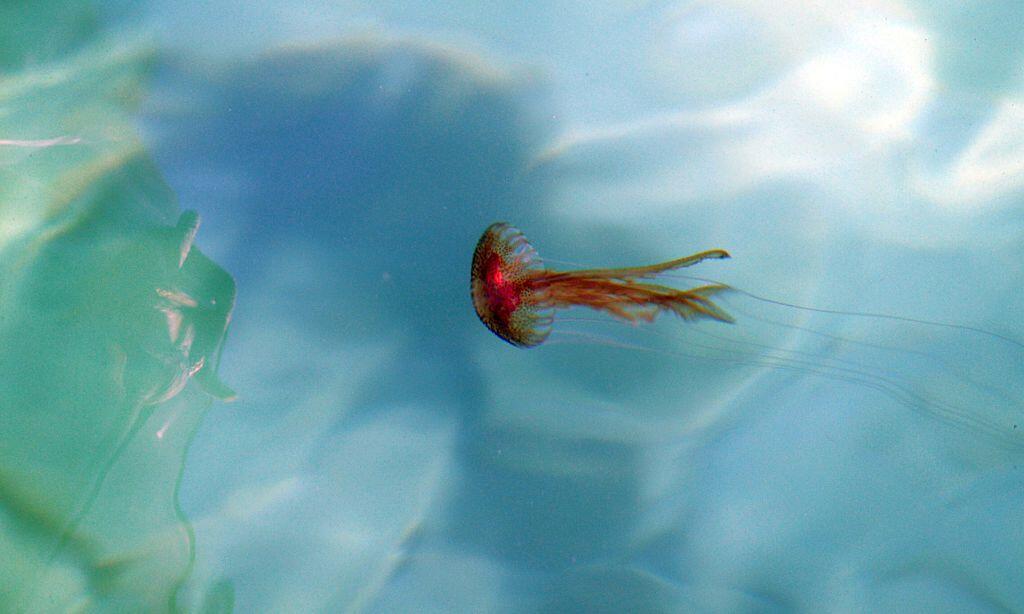 Las medusas son capaces de moverse por sí solas de manera vertical, mien...