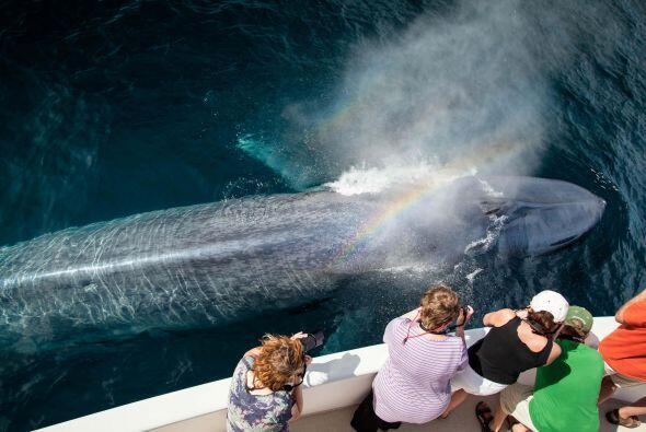 Estas ballenas jorobadas fueron captadas en el mar de Cortés, en el Golf...