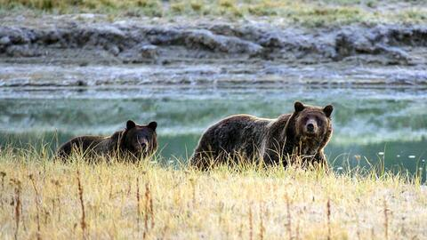¿Hacerse el muerto o gritar? Técnicas para sobrevivir un ataque de oso