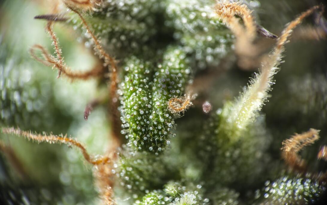 La sed del cannabis y 9 cosas que no sabías de esta hierba istock-641192...