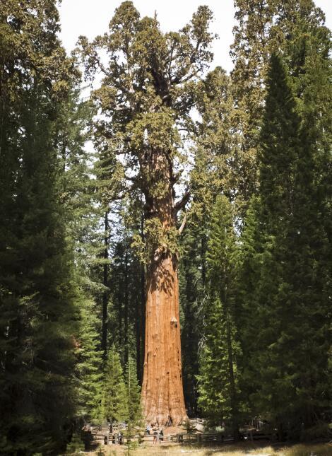 El General Sherman en el Parque Nacional Sequoia-Kings.