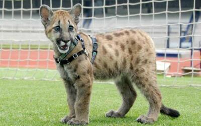 La nueva mascota de los Pumas.