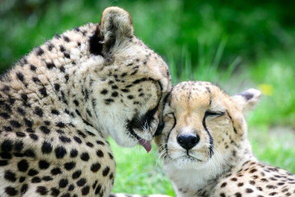 Besos y abrazos estos felinos se dieron.