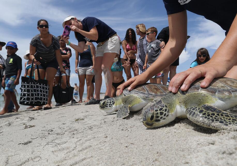 Regresan a su hábitat cinco tortugas de mar rescatadas en playas del sur...