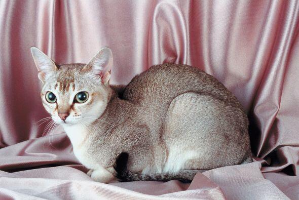 Una de las razas más amigables que hay son los pequeños gatos singapura....