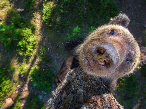 Tres años esperaron para hacerle un retrato a este oso