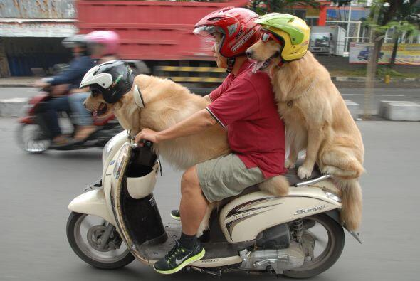 ¡A estos perros les encanta pasear en motocicleta!