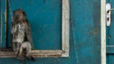 Dos monos entrenados para robar fueron detenidos por las autoridades amb...