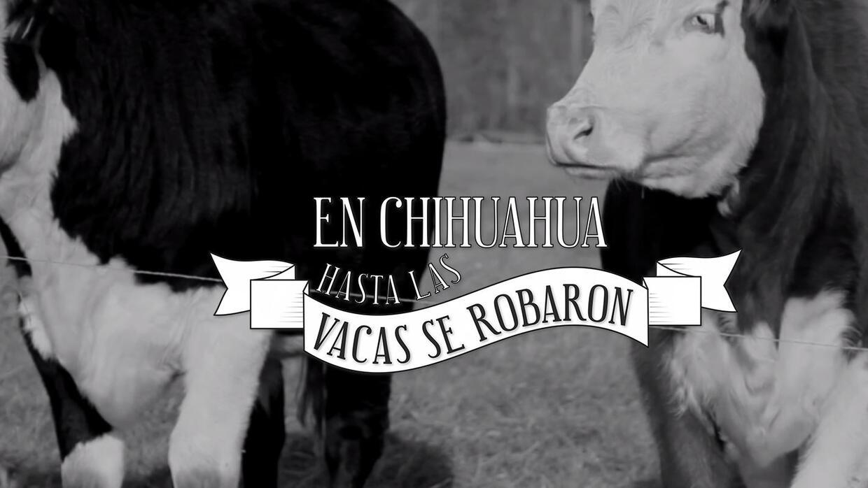 En Chihuahua hasta las vacas se robaron - MCCI corruption investigation