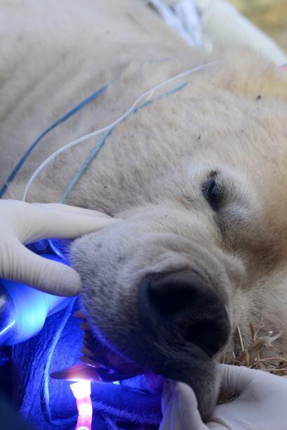 Los caninos superiores tienen la función de desgarrar la parte lateral d...
