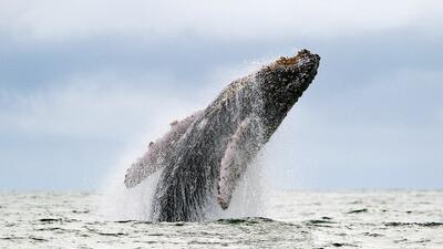 El avistamiento de ballenas jorobadas es común en el oeste de Puerto Rico.