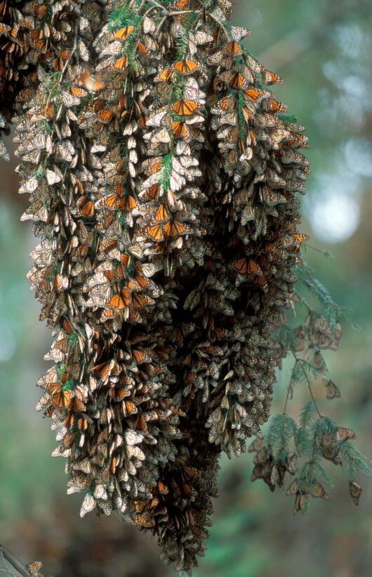 Menos mariposas monarcas llegaron este 2017 a México tras su migración a...