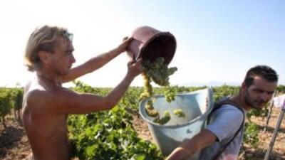Los productores tendrán que cumplir reglas estrictas desde el plantío de...