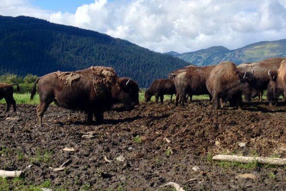 Ahí puedo apreciar majestuosos búfalos.