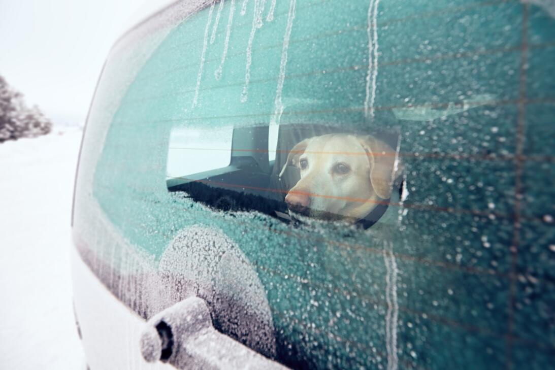 perro carro ale
