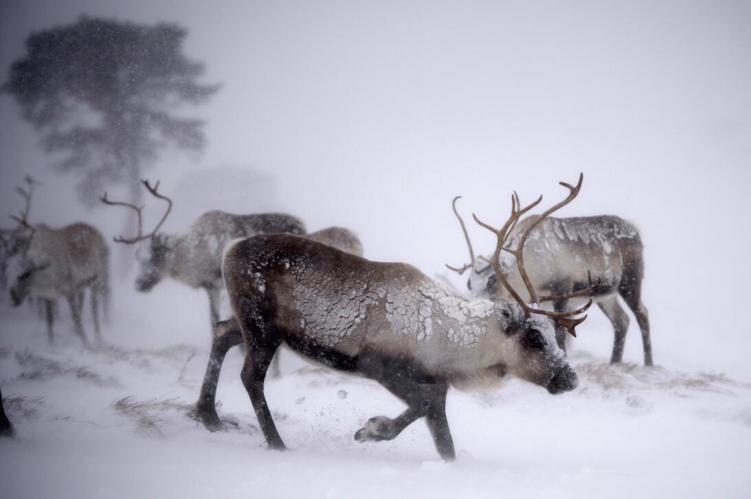 Qué dice la ciencia sobre la nariz roja del reno Rodolfo GettyImages-459...