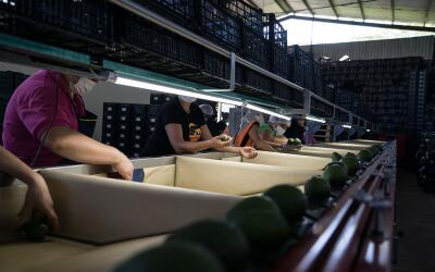 Trabajadores seleccionan aguacates por su peso en una empacadora de Naya...