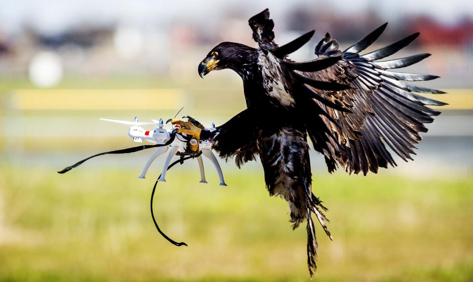 En Katwijk, al sur de Holanda, la policía entrena a las águilas para atr...