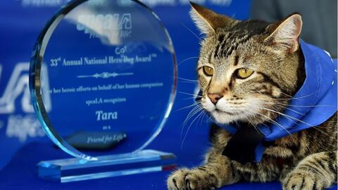 La gata Tara fue reconocida en 2015 por la Society for The Prevention of...