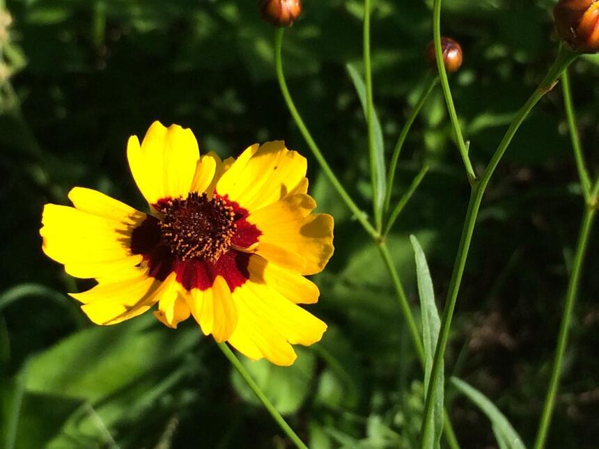 Las flores silvestres más exóticas de Texas IMG_1388.jpg
