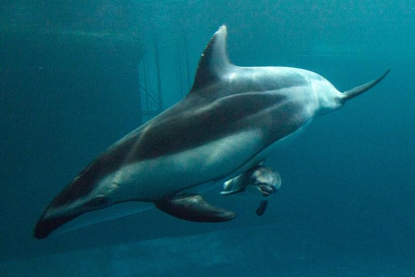 Bebé delfín nacido en cautiverio en Acuario Shedd