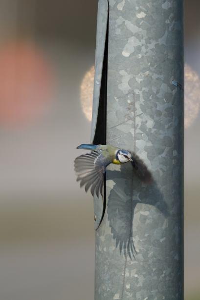 ¡El pequeño pájaro amarillo y azul tiene un gran trabajo por hacer!