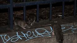 El problema de las ratas en Nueva York trae preocupaciones de salubridad...