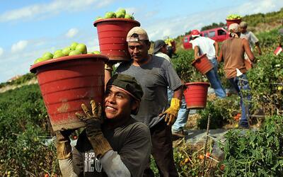 Inmigrantes recolectores de cítricos en Homestead, Florida