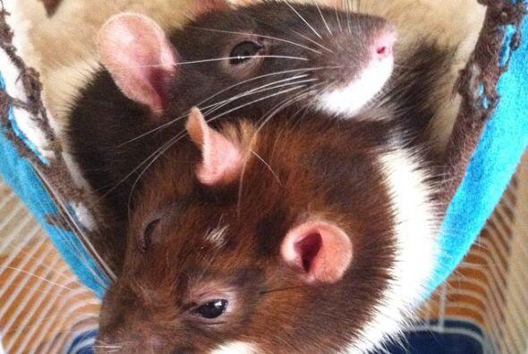 ¡Los ratones también son unas mascotas increíbles!