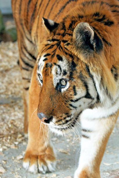 Los tigres causaron conmoción, debido a muchos reclamos de la gente que...