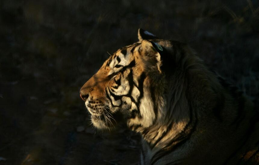 Tiempo de actuar y brillar: ¡llegó el Mes del Tigre!