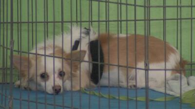 ¿Cuál es la diferencia entre los perros de servicio y las mascotas de apoyo emocional?